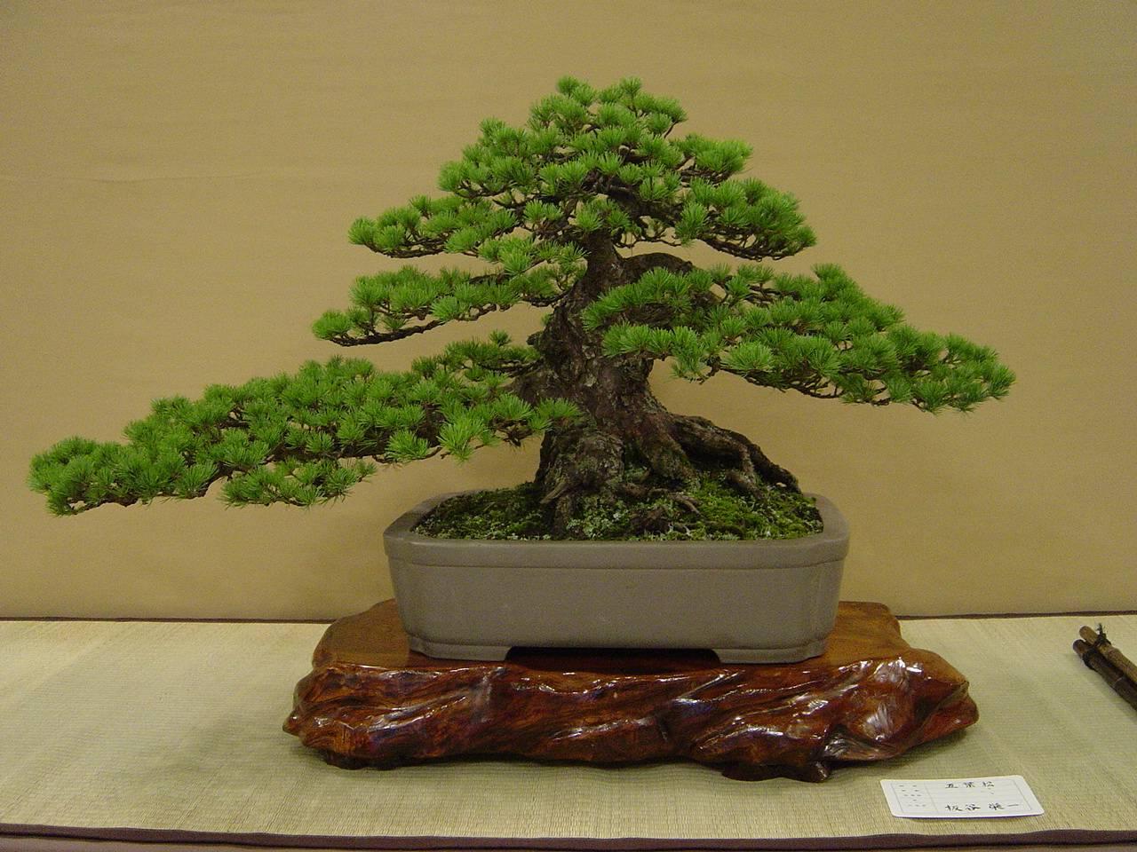 arti tradizionali giapponesi la coltivazione dei bonsai